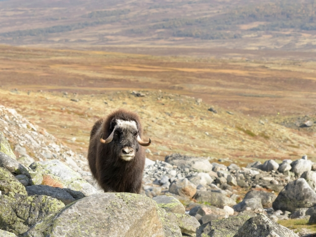 Musk Ox - Behind the Bolder