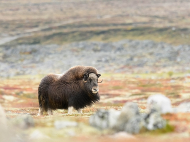 Musk Ox - Rock On