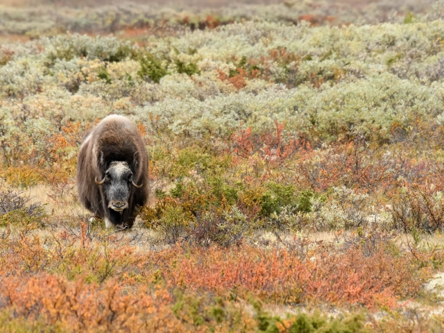 Musk Ox - Bracken Colour Overload