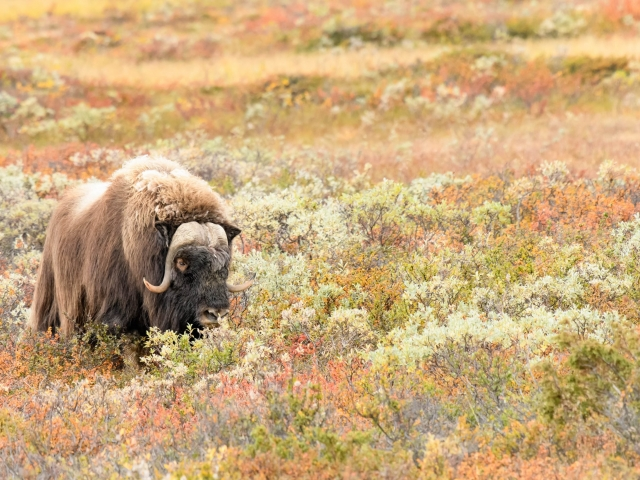 Musk Ox - Nibble in Colour