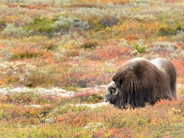 Musk Ox - Explosion of Colour