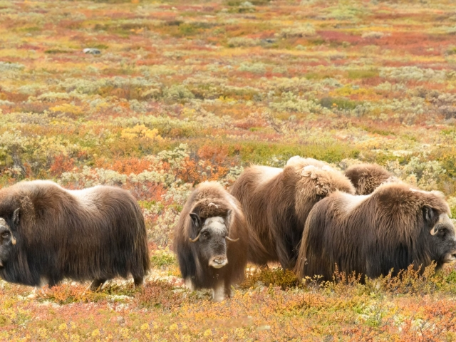 Musk Ox - Group on the Move
