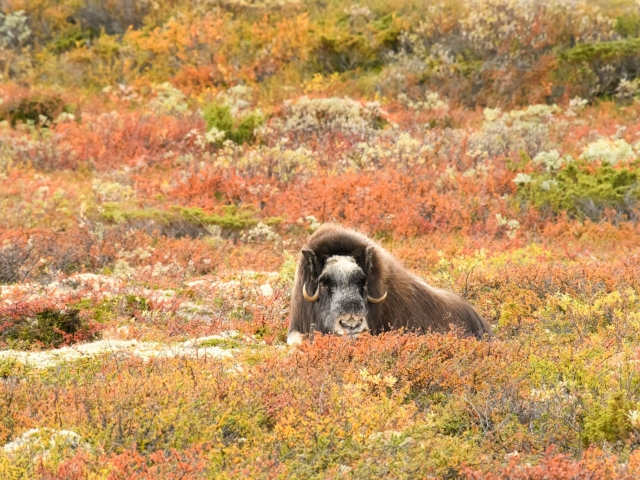 Musk Ox - Laying in the Alpine Tundra