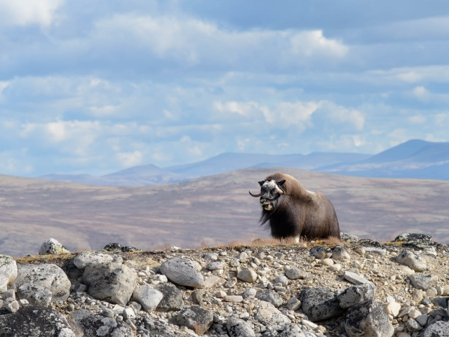 Musk Ox - Wild wind on the Ridge