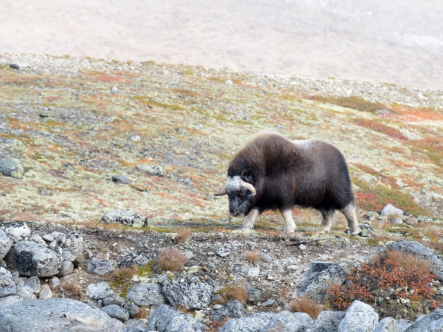 Musk Ox - Get out of my Way