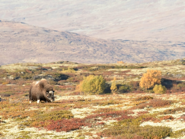 Musk Ox - Grazing the Tundra