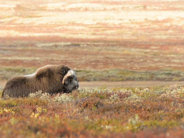 Musk Ox - Grazing the BIlberries