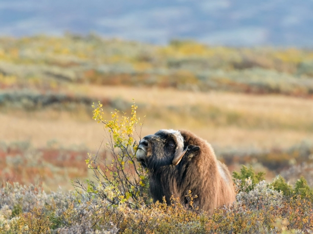 Musk Ox - Tasty Willow