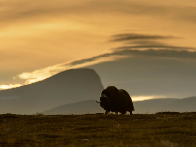 Musk Ox - Silhouette at Sunset