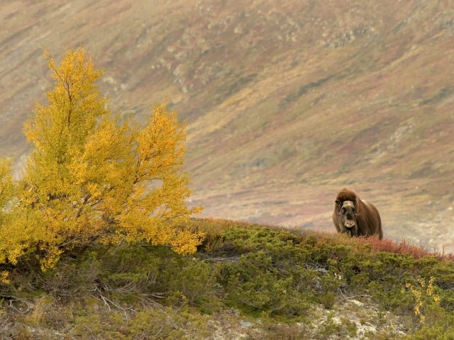 Musk Ox - Golden Birch Ridge