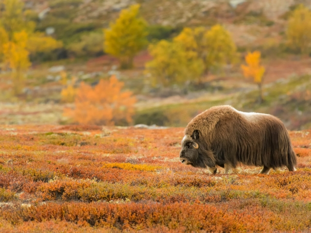 Musk Ox - Stroll Across the Tundra