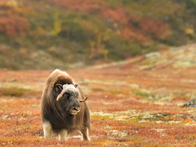 Musk Ox - Hurry Up You Guys
