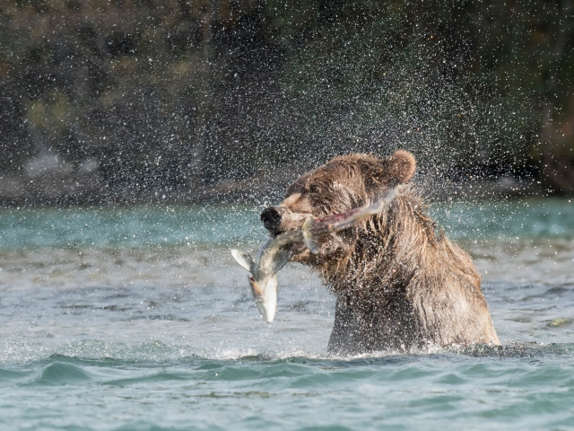 Grizzly Bear - Gotcha
