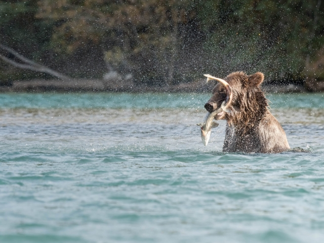 Grizzly Bear - S-cape