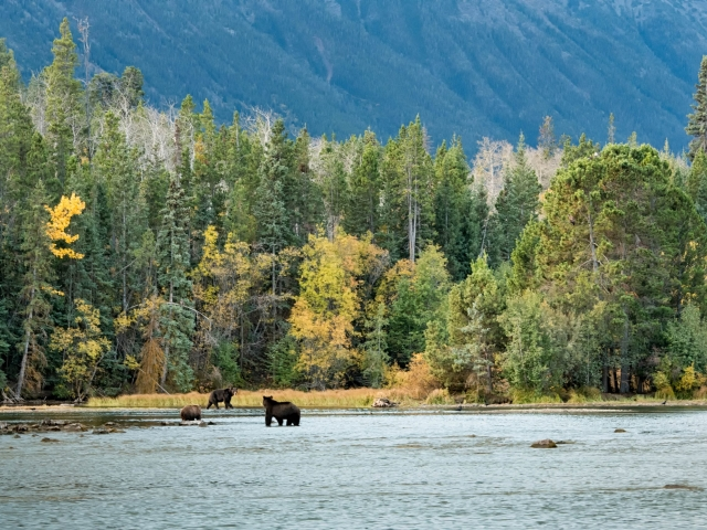 Chilcotin Mountain Bears