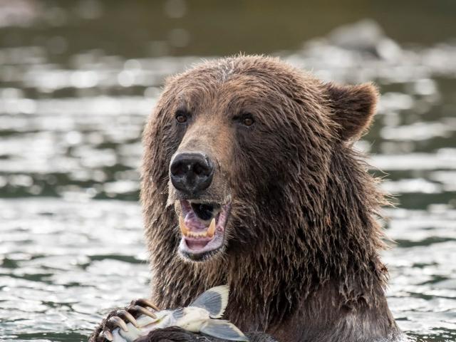 Grizzly Bear - Precious Catch