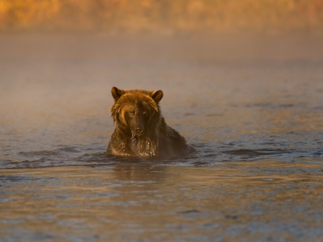 Grizzly Bear - Looking for Dinner