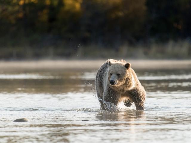 Grizzly Bear - Cream Bear
