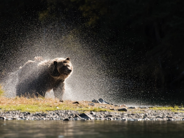 Grizzly Bear - Shaking Spray