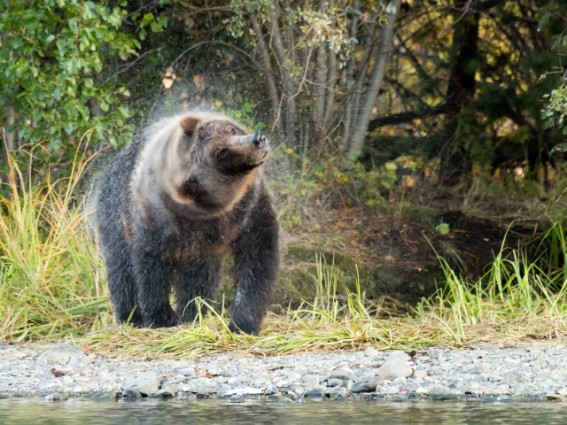 Grizzly Bear - Circle of Rain