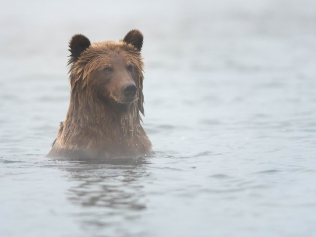 Grizzly Bear -  Stare