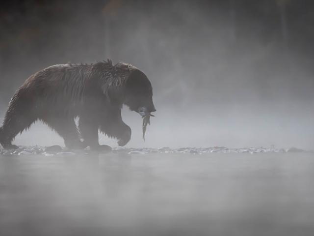 Grizzly Bear - Misty Catch