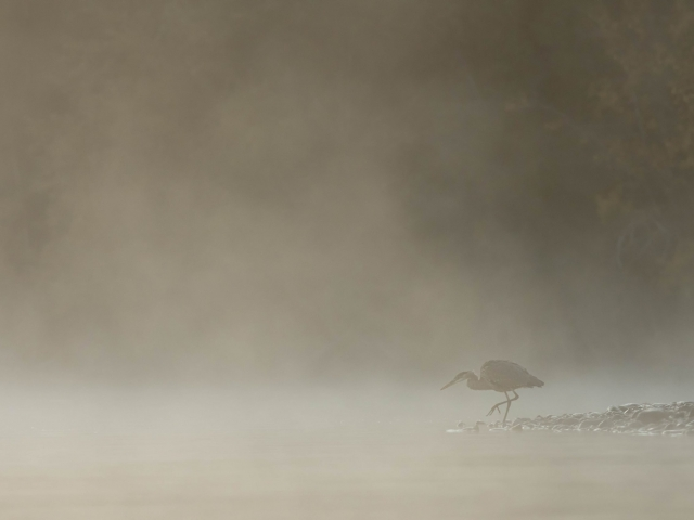 Grey Heron - Murky Meander