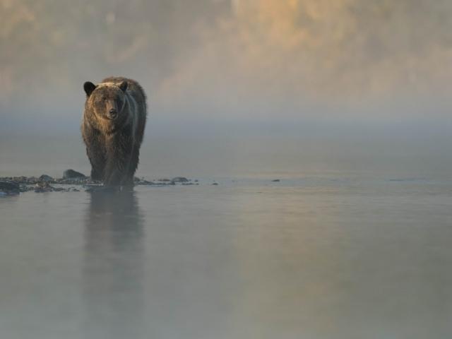 Grizzly Bear - Misty Start