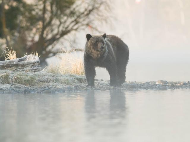 Grizzly Bear - Frosty Grass