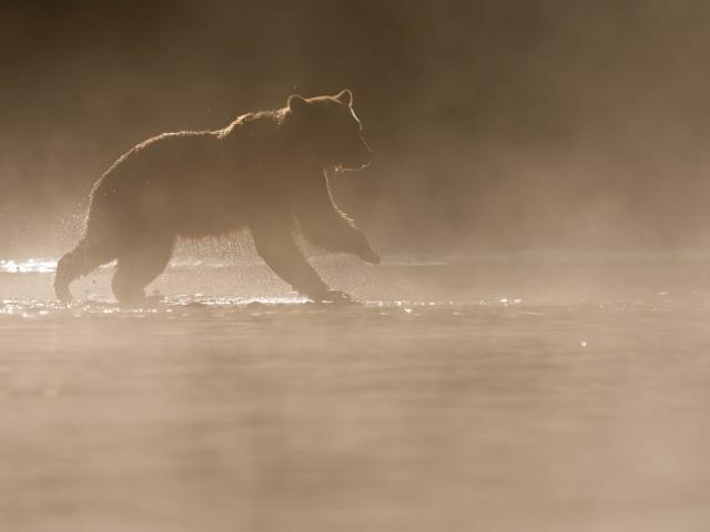 Grizzly Bear - Morning Mayhem