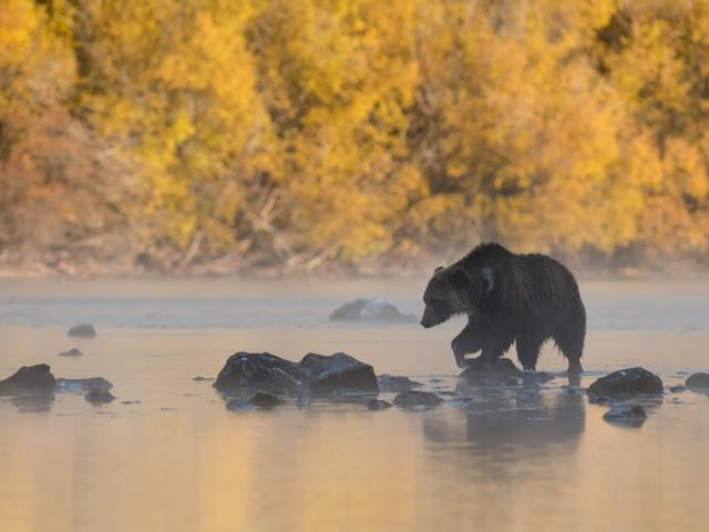 Grizzly Bear - Rock Hopper
