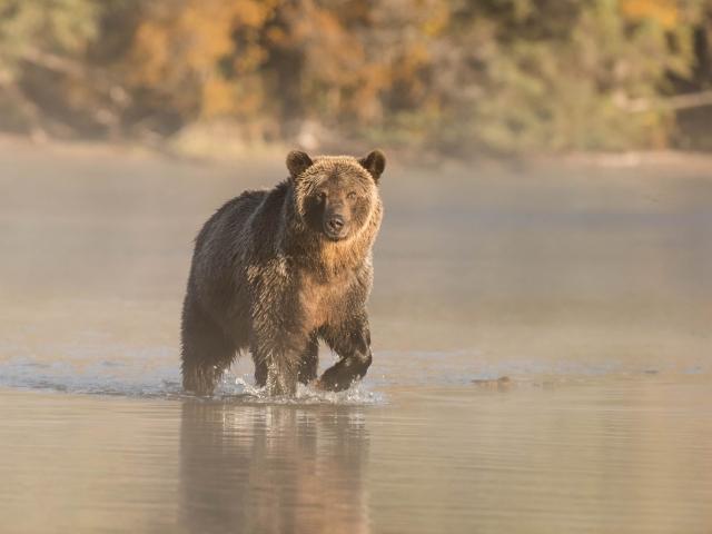 Grizzly Bear - Splash Dance