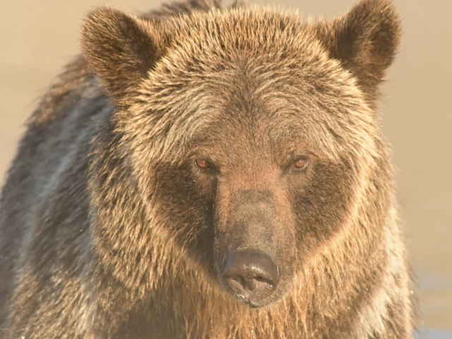 I am Grizzly Bear