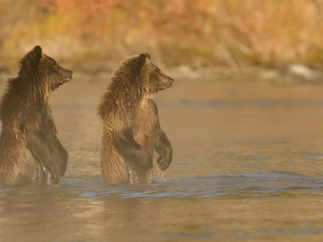 Grizzly Cubs - Waiting For A Fish