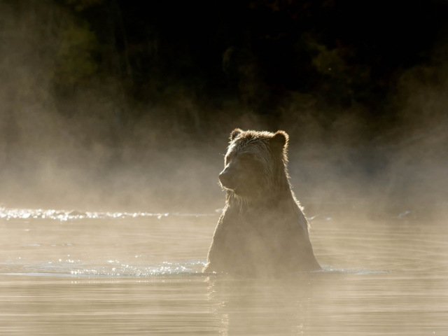 Grizzly Bear - Steam Bath