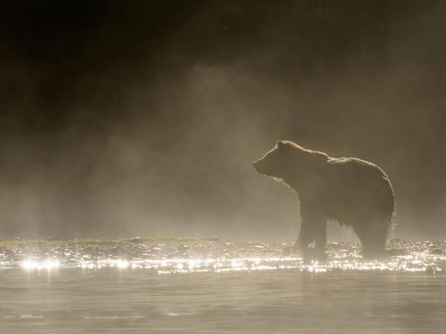 Grizzly Bear - Misty Dawn
