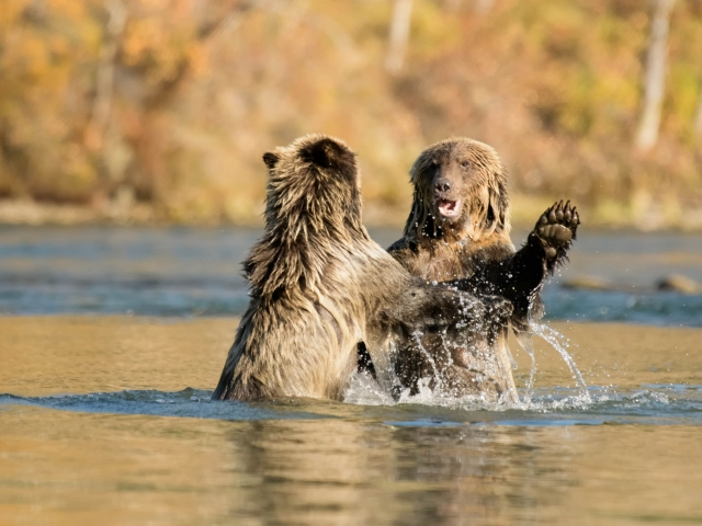 Grizzly Bears -  Left Arm Out