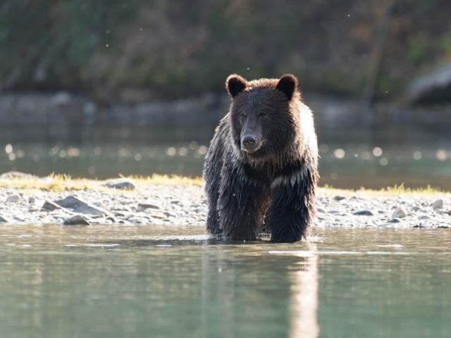 Grizzly Bear - Waiting Cub