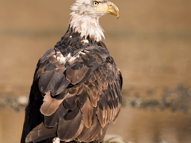 Bald Eagle - Fearless Stand