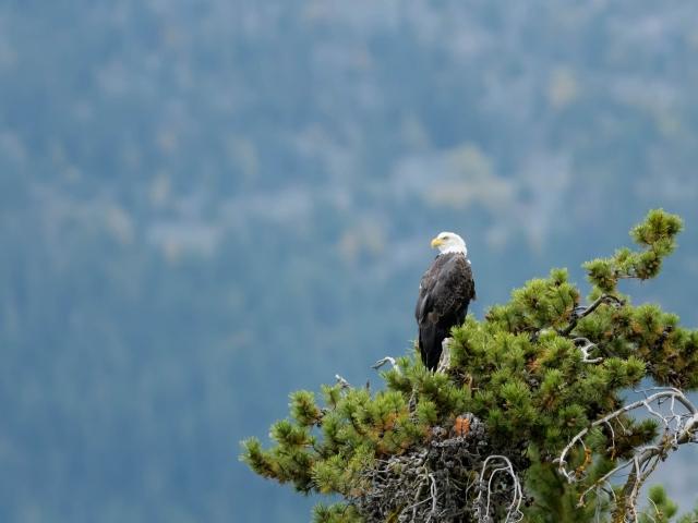 Bald Eagle - I Spy