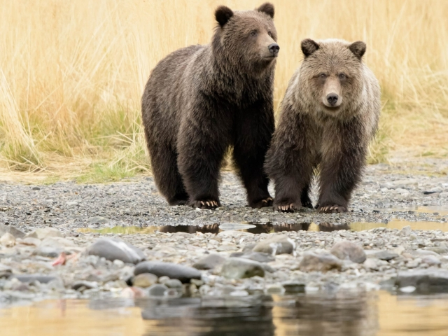 Grizzly Bear - Waiting for Mum