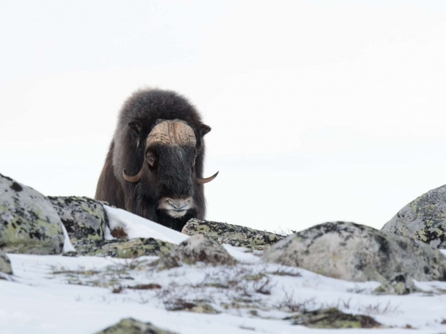 Muskox - Now I See You