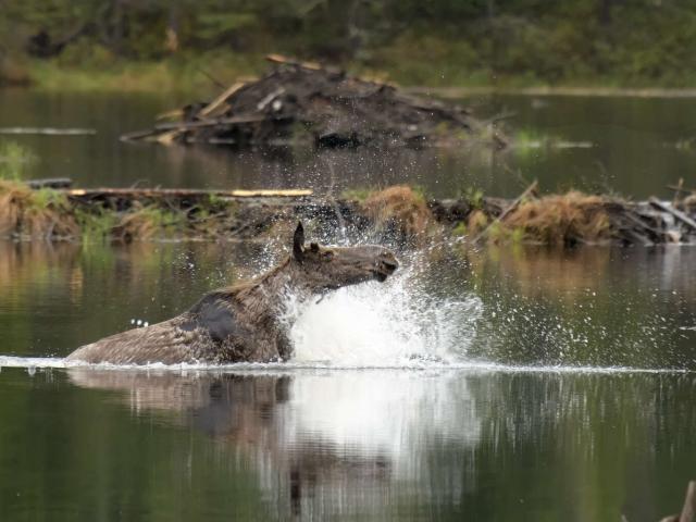 Moose - Splash Dance