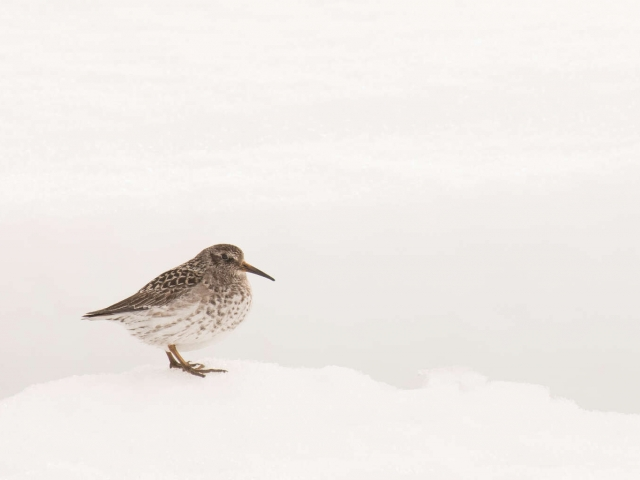Baird's Sandpiper - Perched on the Snow