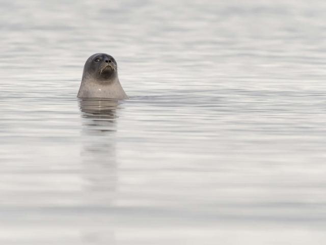 Ringed Seal - Wheres the Ball