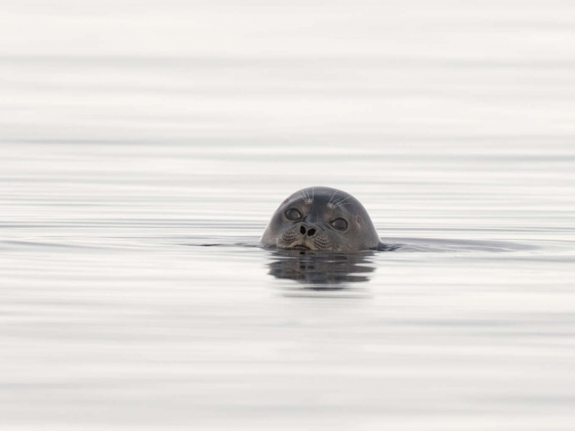 Ringed Seal - Hi There