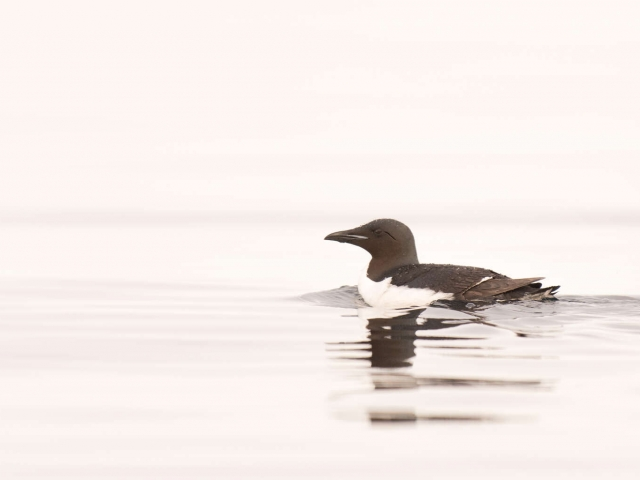 Thick Billed Murre - Still Waters