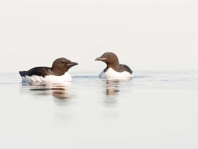 Thick Billed Murre - Two's Company