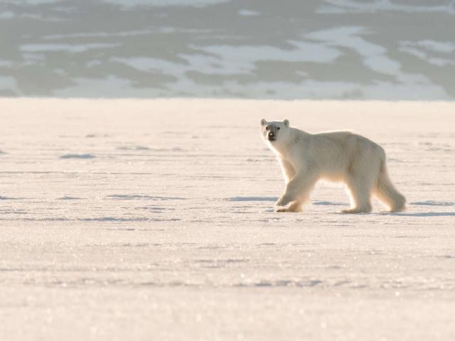 Polar Bear - Pause in The Light