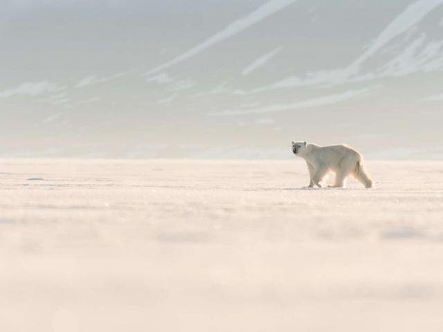 Polar Bear - Stroll on the Ice